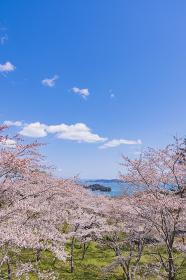 桜と松島 西行戻しの松より望む