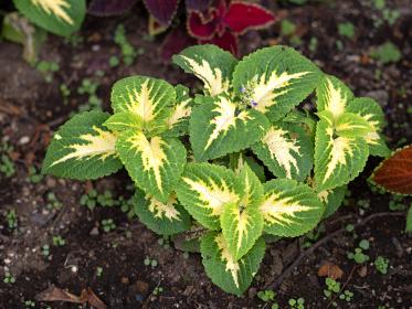 観葉植物 コリウス