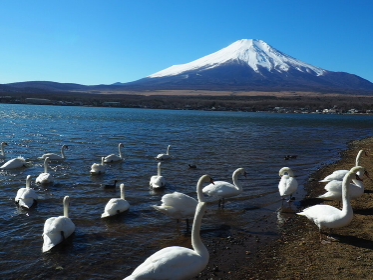 富士五湖山中湖のハクチョウと冬富士