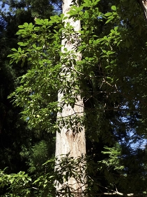 ヒノキの幹