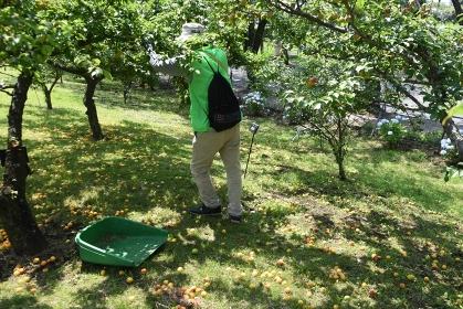 梅の実が熟する初夏の梅園の風景