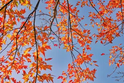 青空背景に下から見上げたトウカエデの紅葉