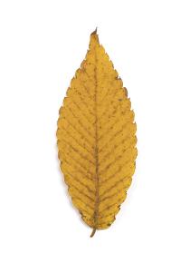 黄葉したケヤキの葉