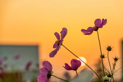 夕陽に映える爽やかな秋桜