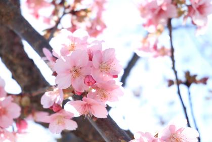 青空と河津桜 1