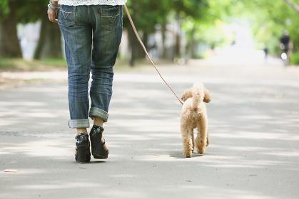 散歩するトイプードル