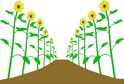 背丈の高い向日葵の道