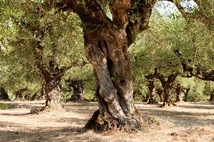 very old olive tree on plantation