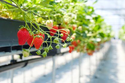 ハウス栽培のいちご 苺 果物 ビニールハウス