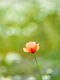 薄い和紙でつくったようなしわのあるオレンジ色の花ヒナゲシ