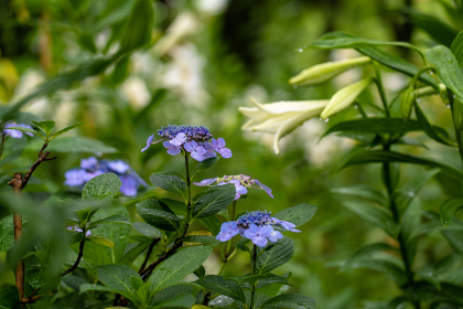 梅雨のユリと紫陽花