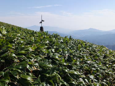 谷川岳・山頂付近の笹原