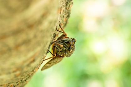 桜の木の樹液を吸うアブラゼミ