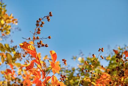 青空背景の下から見上げたサルスベリの紅葉と実