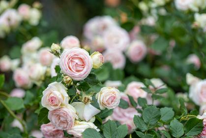 薄いピンク色のバラの花