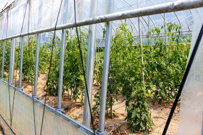 温室栽培のトマト 5558