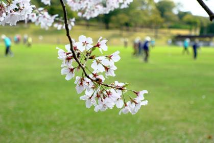 桜が見守る楽しい老後のライフスタイル