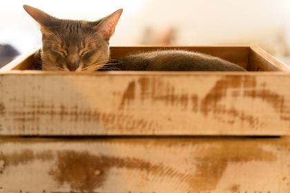 猫(アビシニアン)・箱・室内