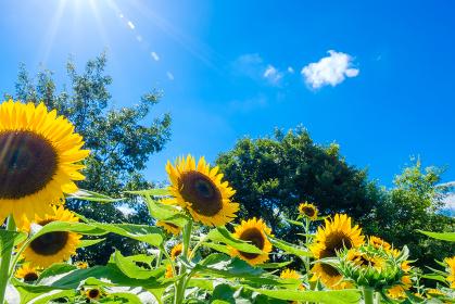 青空とひまわり畑 夏イメージ 真夏 馬見丘陵公園