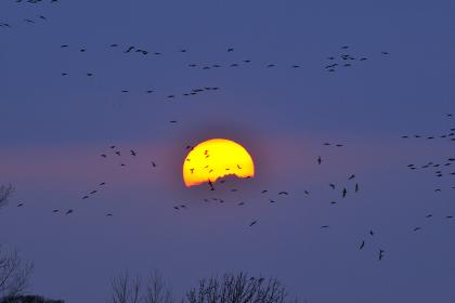 夕日とマガンの群れ
