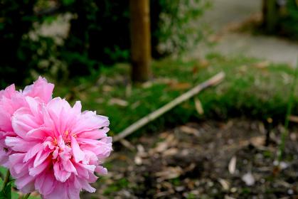 ガーデニングの牡丹の花