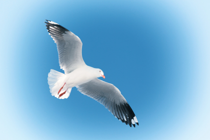 in australia a white free seagull flying in the clear sky