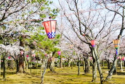 満開の桜とぼんぼり