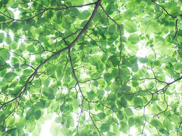 新緑の葉 ハナミズキの葉