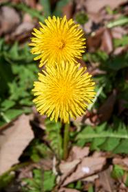 二輪のタンポポの花