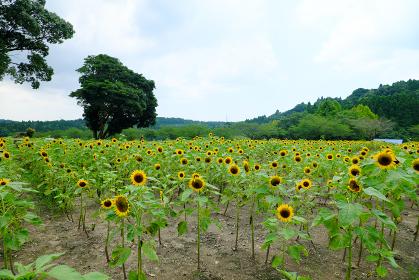 鹿児島市都市農業センターに植えられたヒマワリ