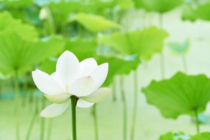 一輪の純白の蓮の花