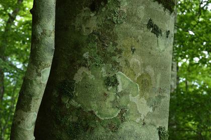 ブナの森(大菩薩嶺・8月)