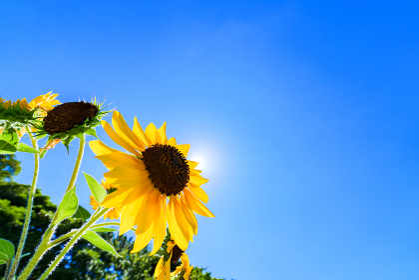 ひまわり 向日葵 【 夏 の イメージ 】