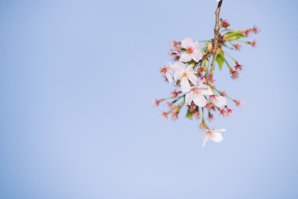 背景用テクスチャーの桜の花