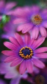 濃ピンク色の花、オステオスペルマム(アフリカキンセンカ、アフリカンデージー)