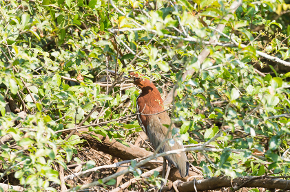 Rufescent tiger heron on the nature in Pantanal, Brazil