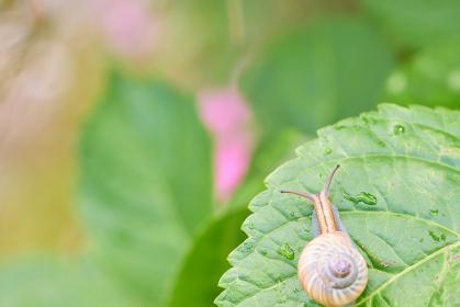 紫陽花の葉の上を進むカタツムリ