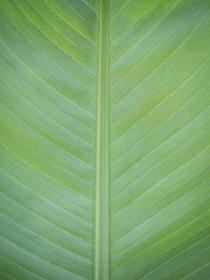 梅雨の雨の雫が残る緑の大きな葉 6月