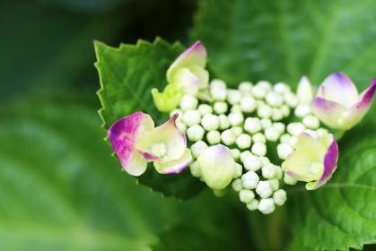 咲き始めた赤いガクアジサイの花のクローズアップ