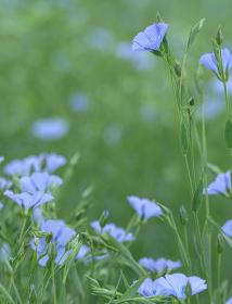 亜麻の花(当別町)
