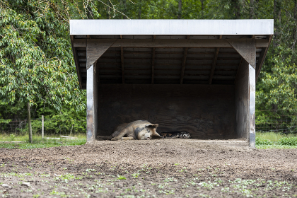 Mother pig and piglet sleeping in the dirt in shed on farm