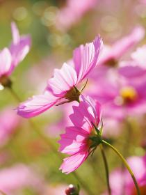 鮮やかなピンク色のコスモス