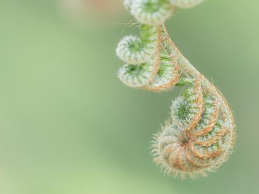 小さく丸まり産毛におおわれたシダの新芽