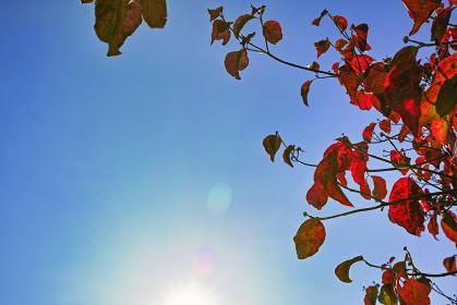 太陽の透過光で赤色が際立つ木の紅葉と太陽が見える青空