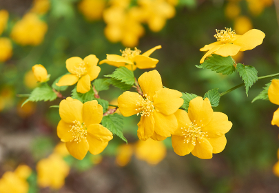 黄色い山吹の花