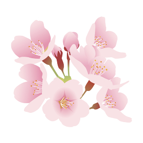 桜の花 花房 イラスト素材