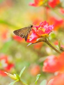 カラフルな小さい花ハナスベリヒユと蝶