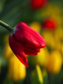 黄色と赤色のチューリップ畑