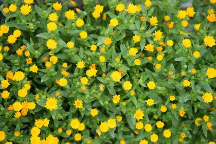 一面に咲く黄色い花