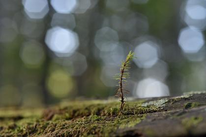 アカエゾマツ 稚樹
